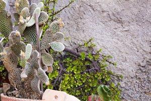 Cactus Plant Detail