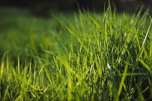 Fresh Green Grass at Sunset