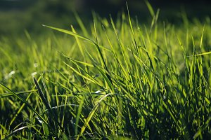 Fresh Green Grass (Wallpaper)