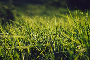 Green Grass in Spring (Bokeh)