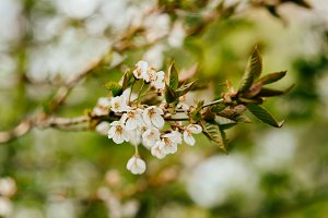 Cherry Blossoms in Spring (Bokeh)
