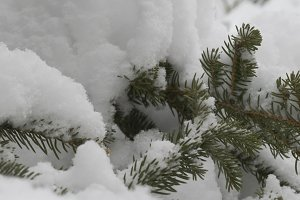 Snow wrapped Pine Closeup