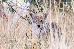 Coyote Stare - 1500x1000px