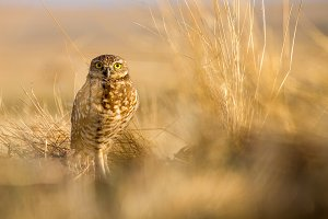 Burrowing Owl - 1500x1000px
