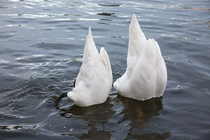 Two swans feed