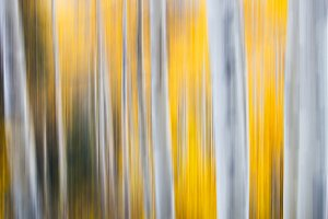 Autumn Aspens in Motion 1500x1000