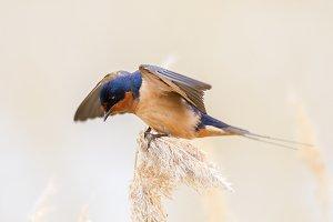 Barn Swallow 1500x1000px