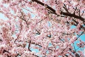 Blooming pink cherry flowers