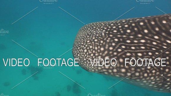 Whale Shark In Ocean