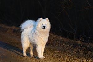 Samoyed dog puppy on sandy road