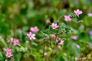 Pink diagonal wild flowers