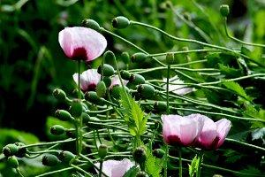 Opium capsules lying in the wind