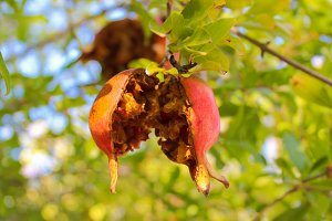 Pomegranate in a Tree