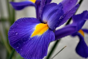 Blue and yellow  iris