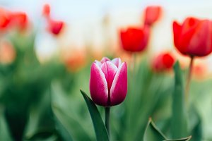 One purple tulip in garden
