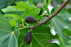 Black figs on the branch