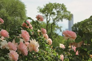 NYC Rose in the Central Park