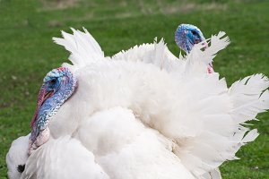 two white turkey male or gobbler closeup on a green background