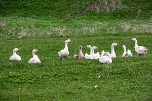 Flock of geese grazing on grass in spring field