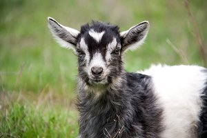 One little kid goat is grazing on the grass close-up