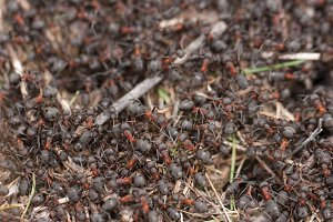 Ants in an anthill close-up macro