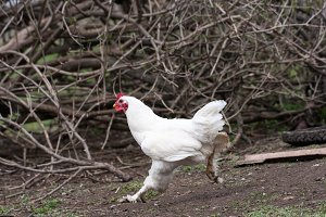 Home chicken in the village yard. Domestic chickens are free-range