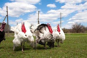 turkey male or gobbler in the village