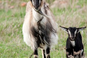 Goat with a kid is grazing on green grass