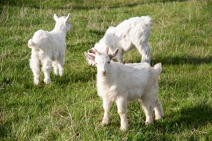 Three small goat standing on green grass