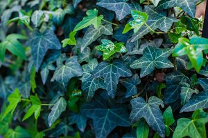 Spring view of green ivy