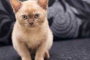 Beige kitten on gray sofa