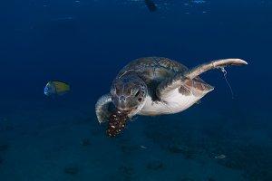 Sea turtle (Chelonia mydas)