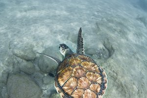Sea turtle (Chelonia mydas)