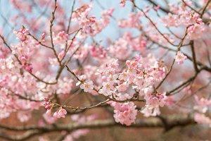 Cherry blossom in april, sakura branch over blue sky background, South Korea, Daejeon