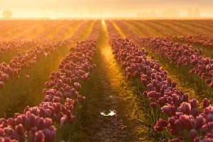 Tulip Rows in Sunrise Mist