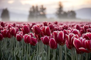Tulip Fields at Sunrise