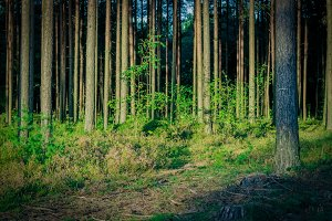 Pine forest with felled tree stumps