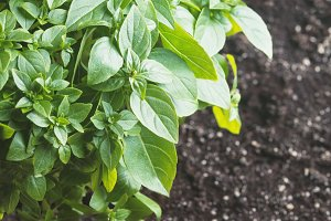 Fresh green basil plant