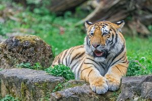 Young bengal tiger