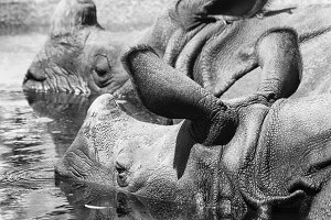 Rhino Portrait in the water