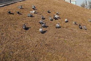 pigeon bird animal in the grass