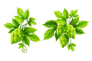 Fresh hop plants with green leaves