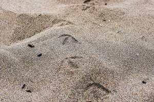 Birds Tracks in the Sand