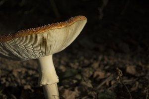 Mushroom stem