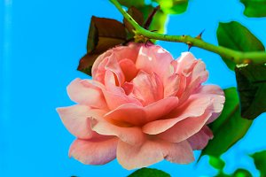 Pink Rose in a Blue Background