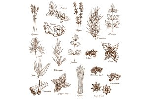Sketch spices and herbs vector flavorings