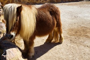 Beautiful brown Pony with long hair in the zoo