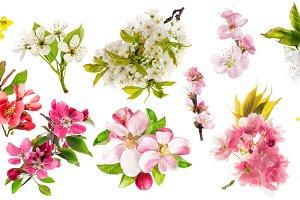 Blossoms apple tree cherry almond