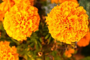 Chinese Carnation in Yellow