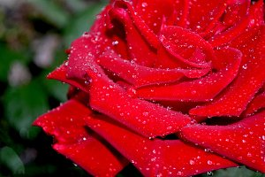 Drops and drops on red rose
